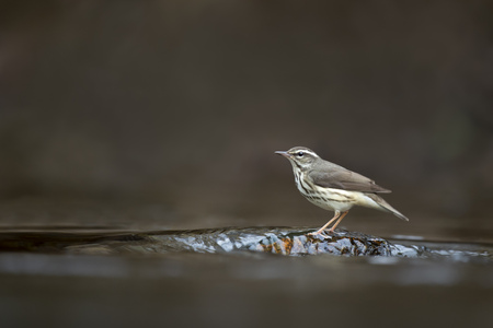 A Louisiana Waterthrush perched on a submerged rock in a shallow running stream in soft overcast light.