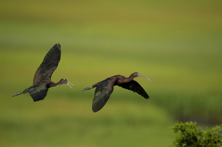 A juvenile Glossy Ibis flies after its parent calling out on a sunny morning with a smooth green marsh grass background.