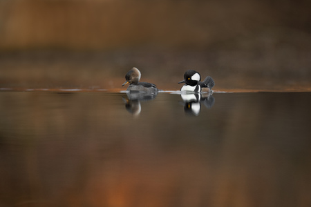 A simple view of a pair of Hooded Mergansers just after the rising sun started glowing on the background trees. Stock Photo