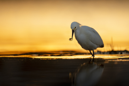 A Snowy Egret with a small Grass Shrimp in its beak with the rising sun glowing on the water behind it early one morning.