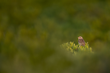 A Song Sparrow perched on a green dune bush with an out of focus foreground and background in the morning sun.