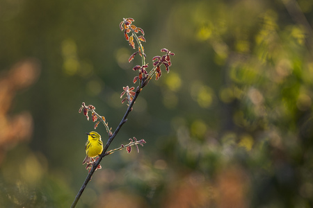 A Prairie Warbler perched on a branch with fresh spring red leaves glowing in the setting evening sun.