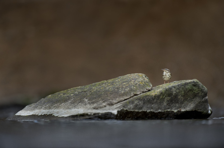 A Louisiana Waterthrush perched on a large rock in a shallow running stream in soft overcast light.
