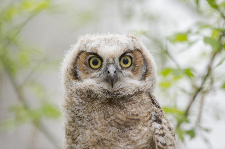 A fluffy Great-horned Owlet stares out with large yellow eyes in soft overcast light. Stock Photo