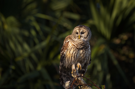 A Barred Owl perched on a branch with a spotlight of sun on its head and body with a dark palm tree background. Stock Photo