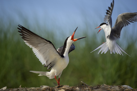 A Common Tern attacks a Black Skimmer on the beach by flying around it on a bright sunny day.