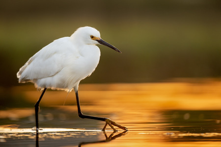 A Snowy Egret makes a careful step in the early morning glow of the sunrise in the marsh.