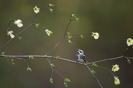 A Black and White Warbler perched on a blooming Dogwood tree branch with a smooth green background in soft overcast light. Stock Photo