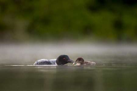An adult Common Loon feeds its small chick a crayfish in the calm water with a low fog hanging. Stock Photo