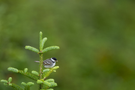 A Blackpoll Warbler perched in a bright green pine tree with a smooth green background. Stock Photo