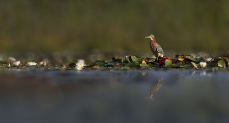 A Green Heron stands on a patch of lilly pads in the early morning sun with its reflection in the water. Stock Photo