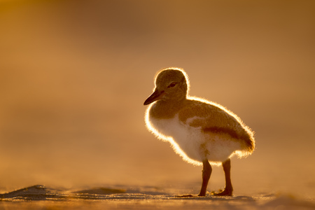 A young American Oystercatchers stands on the sandy beach while glowing in the setting sun. Stock Photo