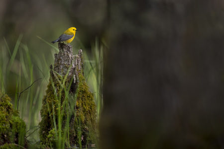 A bright yellow Prothonotary Warbler perched on a moss covered log in the swamp in the morning sun. Stock Photo