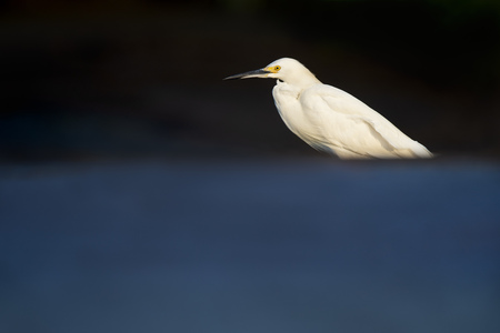 A Snowy Egret in the morning sun with a smooth blue reflection in the foreground.