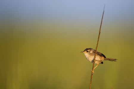 A Marsh Wren perches on some marsh grass in the early morning sun with a smooth green and blue background.