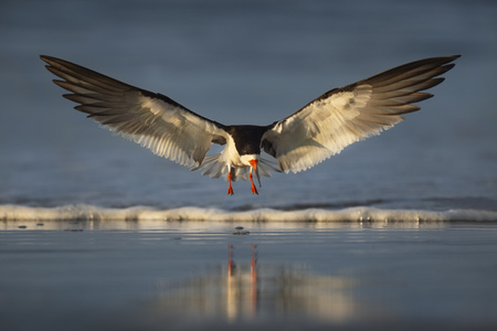 A Black Skimmer spreads its wings out before landing on a wet sand beach in the early morning golden sunlight.