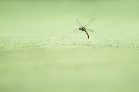 A dragonfly hovers in flight over a pond covered in green duckweed while dipping its tail in the water. Stock Photo