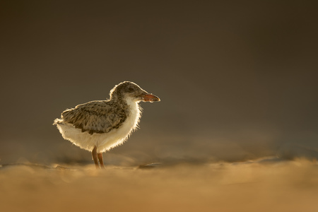 A small Black Skimmer chick is glowing in the mornign sun on a sandy beach.