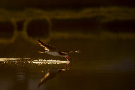 A Black Skimmer flies over the surface of the calm water dragging its beak in the water trying to catch food in the glowing morning sun.