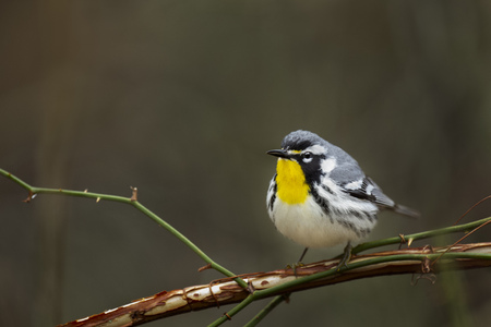A Yellow-throated Warbler perched on a branch with a smooth dark background in soft overcast light.