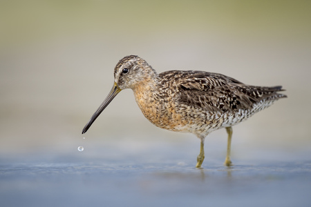 A Short-billed Dowitcher stands in shallow water in soft light with a smooth background and a large drop of water falling from its beak.