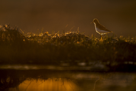 A very small Least Sandpiper makes its way along the top of a small clump of grass in the marsh as the sun rises behind it. Stock Photo