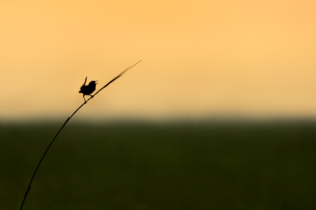 A Marsh Wren sings out silhouetted against the soft orange sky at sunrise over a wide open marsh.