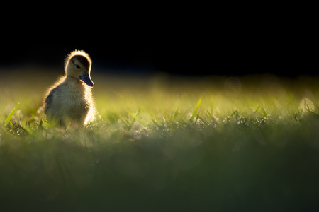 A small and very cute Egyptian Goose gosling glows in the early morning sun as it sits in the grass with a dark dramatic background. Stock Photo