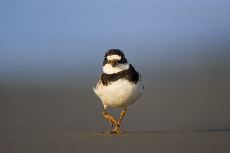 A Semipalmated Plover walks right at the camera with its one leg up on a sandy beach in the morning sun with a smooth blue background. Stock Photo