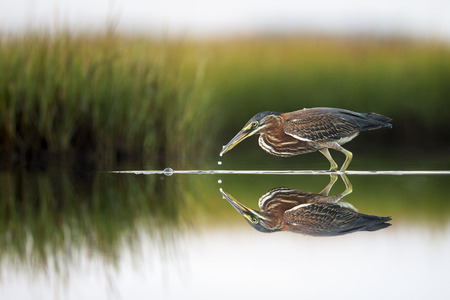 A Green Heron catches a small fish in the very calm and shallow water of a marsh with a near perfect mirror reflection.