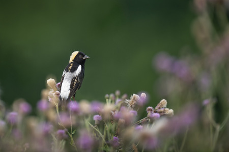 A male Bobolink perched on purple flowers in soft sunlight with a smooth green background.