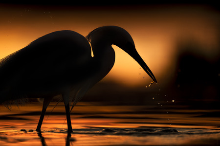A Snowy Egret is silhouetted against the orange of the sun reflecting off the water with water drops falling from its beak. Stock Photo