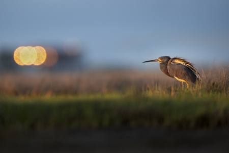A Tricolored Heron stands guard over the wide open marsh as the early morning sun shines on it.