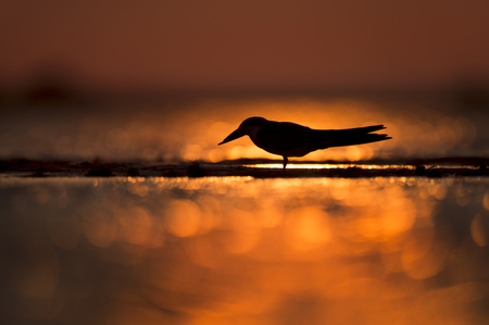 A Black Skimmer silhouetted against the vibrant orange of the setting sun in the water.