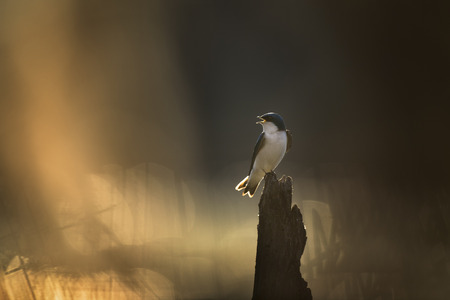 A Tree Swallow perched on a stump calls out as the morning sun glows on the bird and the water behind it. Stock Photo