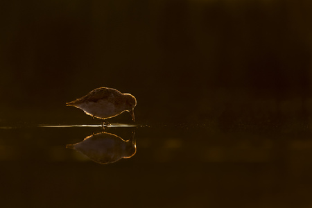 A Semipalmate Sandpiper has a golden glow as it searches for food in a calm shallow pool at sunrise.