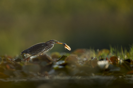 A Green Heron walks over lilly pads with its freshly caught tadpole as it glows in the morning sunlight.