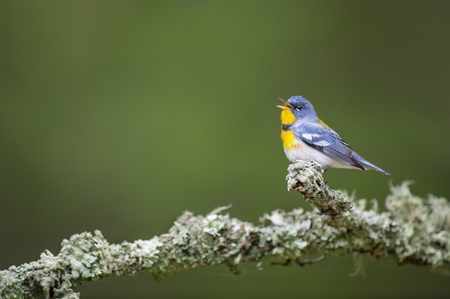 A male Northern Parula sings out while perched on a textured lichen covered branch with a smooth green background.