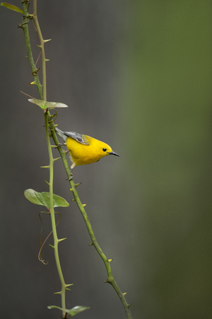 A Prothonotary Warbler clings to a green thorny vine deep in a swamp with a smooth green and gray background.