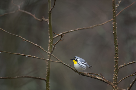 A Yellow-throated Warbler perched on an open branch with a smooth brown background in soft overcast light.