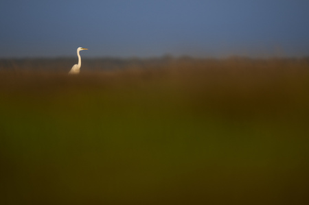 A bright white Great Egret stands out far away standing in the brown and green marsh grasses in the morning sun.