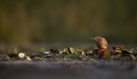 A Green Heron stands motionless in the lilly pads in the early morning sun waiting for some food to swim by. Stock Photo