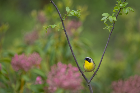 A male Common Yellowthroat poses in a split between some branches with a green background that has pink flowers.