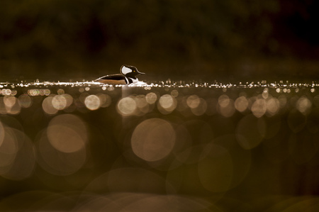 A male Hooded Merganser swims in the glowing morning sun with lots of out of focus bubbles in the foreground against a dark background.