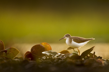 A Spotted Sandpiper stands in a bunch of Lilly Pads as it glows in the early morning sunlight.