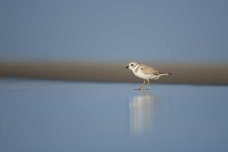 A juvenile Piping Plover stands in the shallow water from a wave along the shoreline on a sunny day. Stock Photo