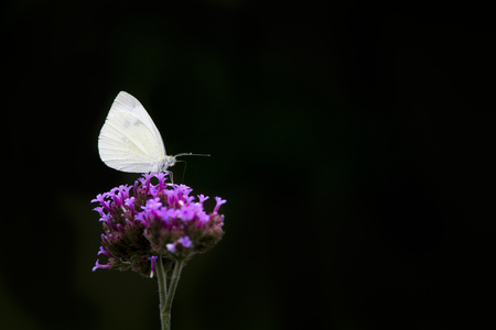 A small white Cabbage White butterfly sits on a purple flower against a black background.