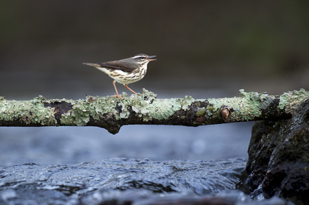 A Louisiana Waterthrush perched on a lichen covered branch over turblulent water in soft overcast light.