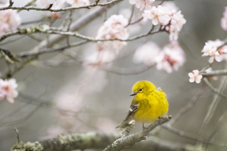 A bright yellow Pine Warbler perched in a blossoming tree in spring with light pink flowers.