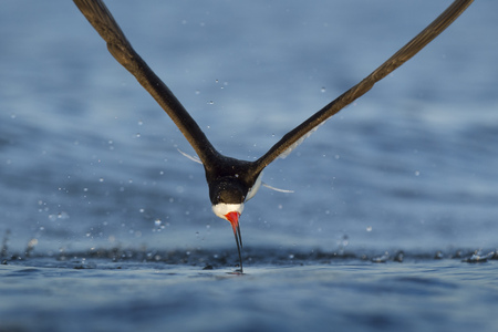 A Black Skimmer dragging its bill in the water during flight searching for fish.